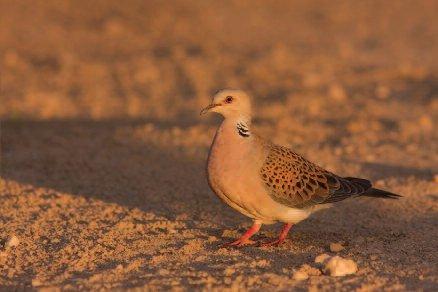 Turtle dove (paprastasis purplelis).