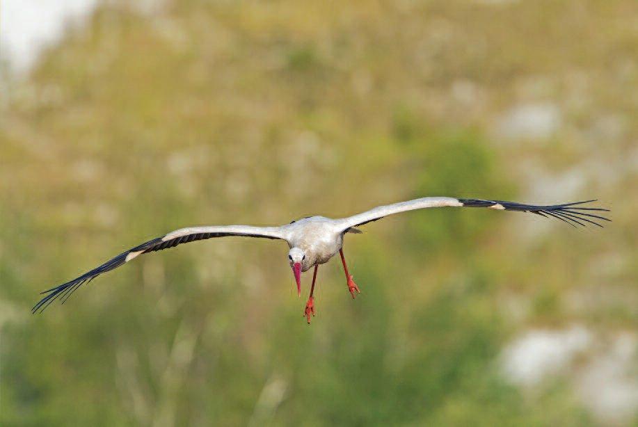 White stork (baltasis gandras).