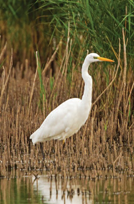 Great White Egret (baltasis garnys).
