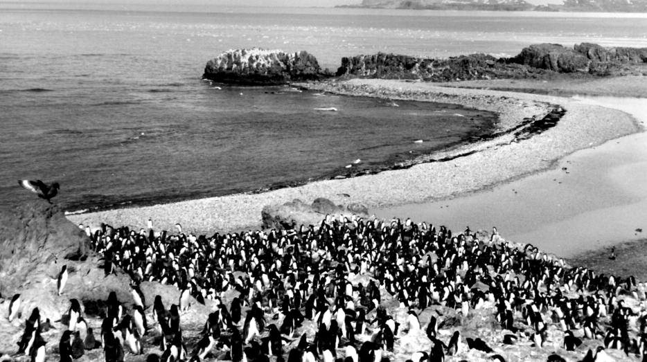 Thousands of penguins.